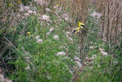 2 yellowbirds
