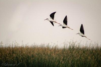 3 birds in a row